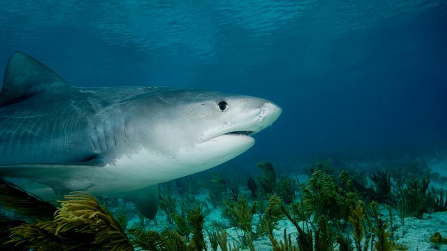 pourquoi les requins de la r union attaquent les surfeurs. Black Bedroom Furniture Sets. Home Design Ideas