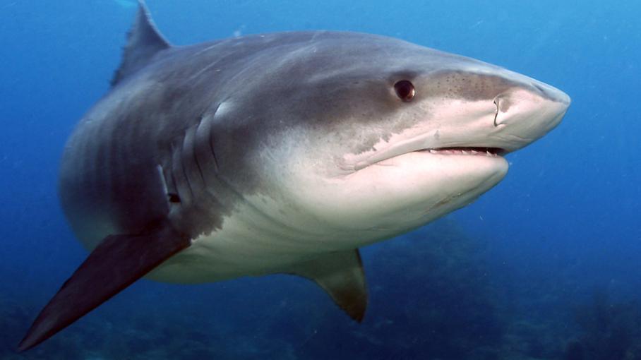 un premier requin tigre captur et tu au large de la r union. Black Bedroom Furniture Sets. Home Design Ideas