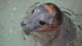 Brest : le centre qui soigne les phoques gris