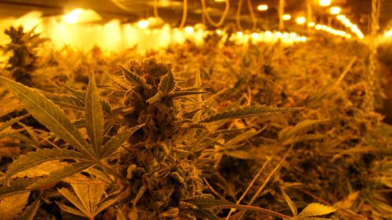 Une importante serre où est cultivé du cannabis, démantelée par la police à Kornik (Pologne), le 24 mars 2010.