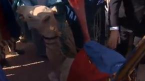"""VIDEO. Un """"jeune chameau"""" offert à François Hollande"""