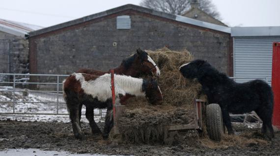 Elevage de chevaux près de l'abattoire dePeter Boddy,dans le West Yorkshire (Royaume Uni), le 13 février 2013.