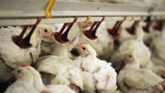 Des poulets nourris par des systèmes de distribution de nourriture dans un élevage d'Olszewo, en Pologne, le 29 janvier 2013.
