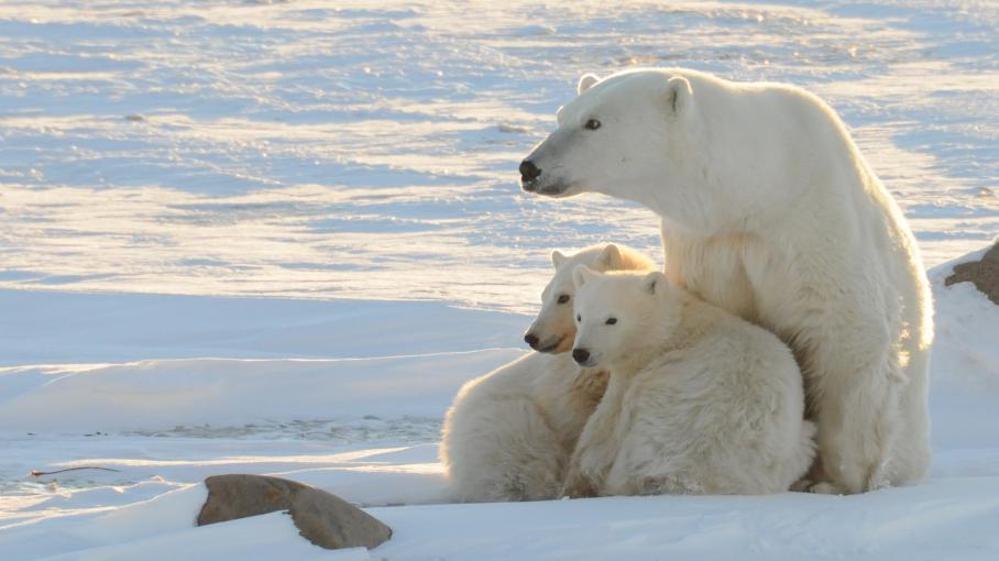 Une ourse polaire et ses petits photographiés en novembre 2010 dans la baie d'Hudson, au Canada.