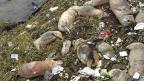 Chine : 900 cochons morts dans une rivière