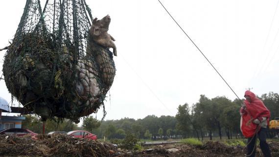 Le nombre de cadavres de porcs repêchés dans le principal fleuve de Shanghai (Chine) a dépassé les 13 000, selon les autorités locales, le 18 mars 2013.