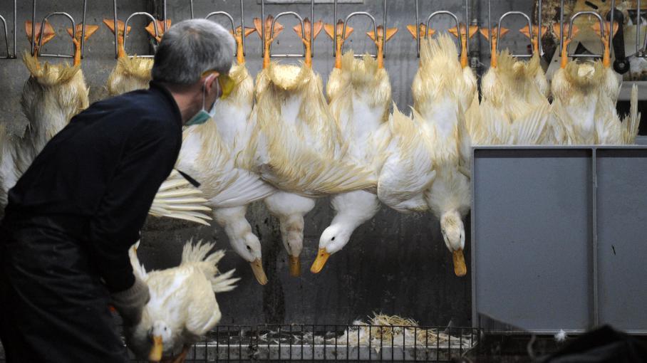 Un éleveur trie les canards sur un marché à Taipei (Taiwan), le 25 avril 2013.
