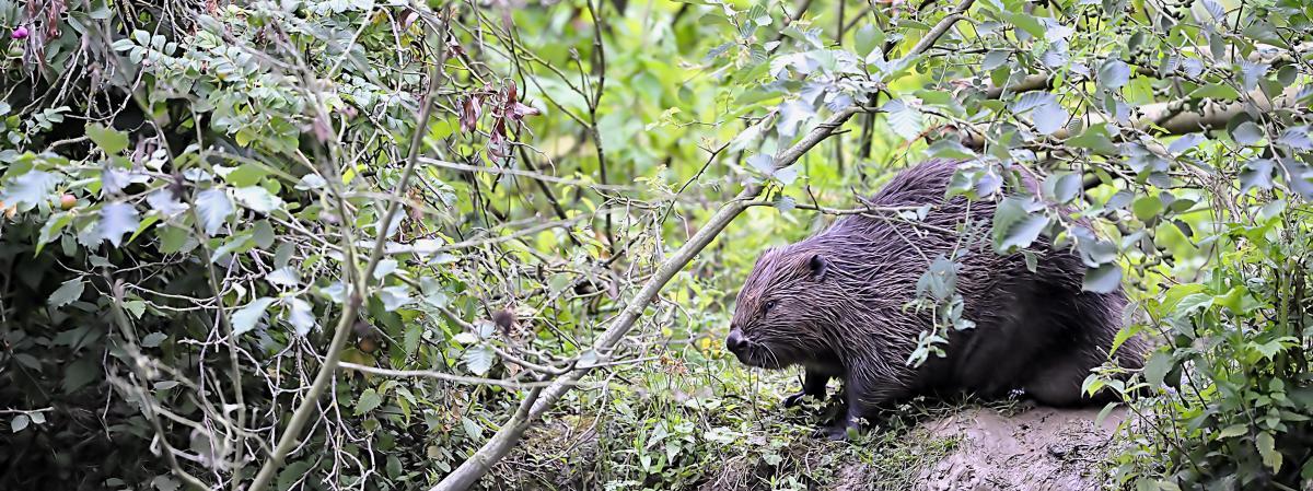 Tarn : le castor fait son grand retour dans le département