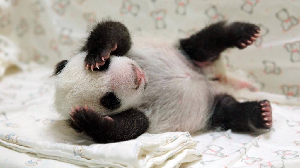 video un b b panda retrouve sa m re un mois apr s sa naissance. Black Bedroom Furniture Sets. Home Design Ideas
