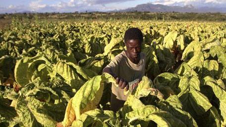 Paysan en train de récolter des feuilles de tabac à Odzi, à quelque 200 km à l\'est de Harare, la capitale du Zimbabwe, le 18-2-2011.