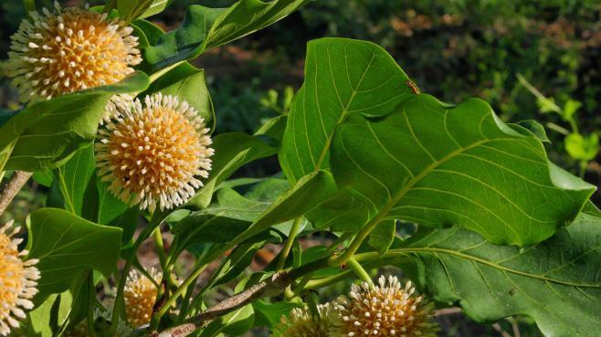 Nauclea orientalis (ou