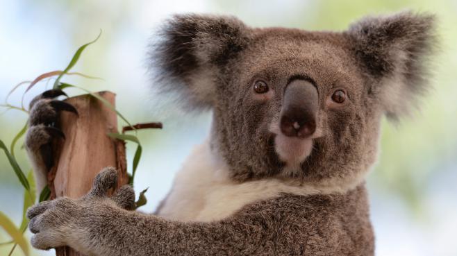 Le réchauffement climatique pourrait être fatal au koala australien 2650727