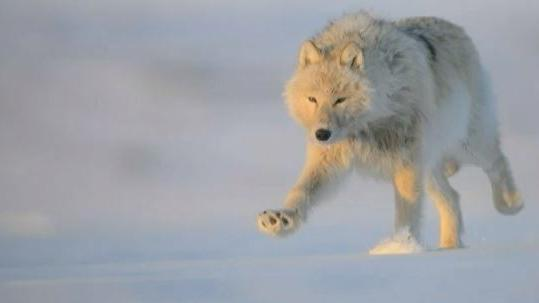 VIDEO. Un photographe parvient à approcher les loups blancs du Grand Nord