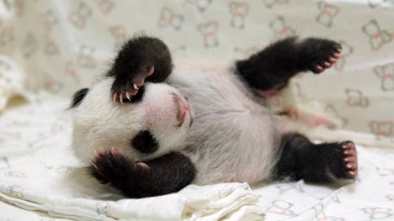 video visite m dicale pour deux pandas jumeaux au zoo d 39 atlanta. Black Bedroom Furniture Sets. Home Design Ideas