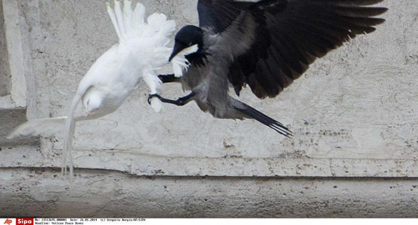 pourquoi les colombes du pape ont elles t attaqu es. Black Bedroom Furniture Sets. Home Design Ideas