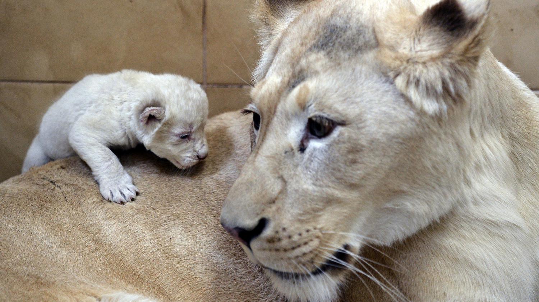 video naissance exceptionnelle de lions blancs tripl s dans un zoo polonais. Black Bedroom Furniture Sets. Home Design Ideas