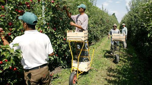 VIDEO. Faute de trouver des saisonniers, un producteur de fraises embauche des travailleurs marocains