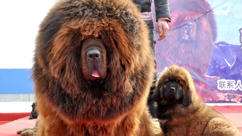 pourquoi de riches chinois sont pr ts payer plus d 39 un million d 39 euro pour ce chien. Black Bedroom Furniture Sets. Home Design Ideas