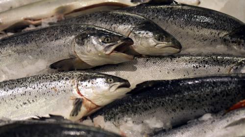 Environnement : les saumons sont de retour dans la Garonne