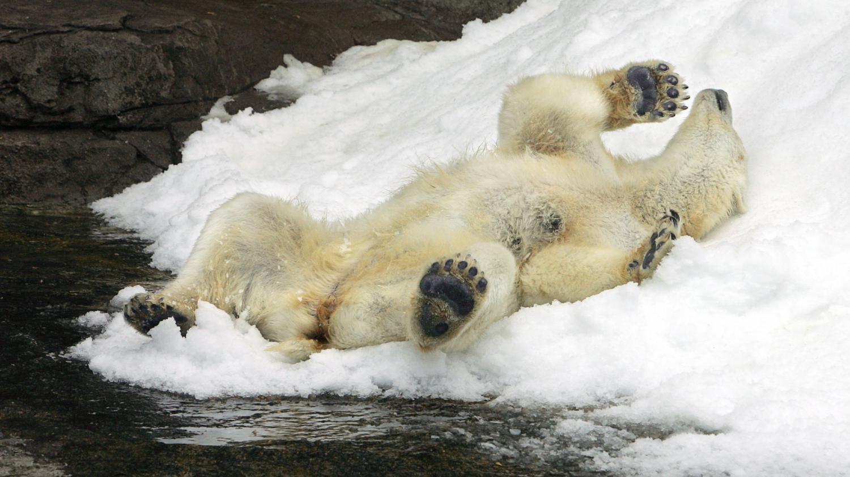 video mettez vous dans la peau d 39 un ours polaire. Black Bedroom Furniture Sets. Home Design Ideas