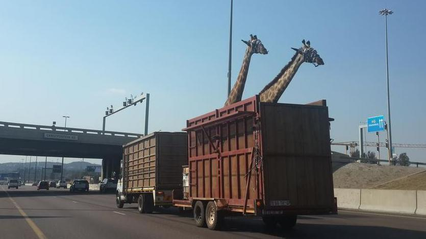 une girafe meurt en camion apr s avoir heurt un pont sur une autoroute. Black Bedroom Furniture Sets. Home Design Ideas