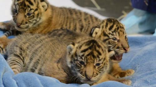 video choisissez le nom de ces trois bebes tigres nes au zoo de tacoma