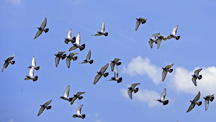 Les pigeons voyageurs ne retournent pas b tement d 39 o ils viennent - Faire fuir les pigeons ...