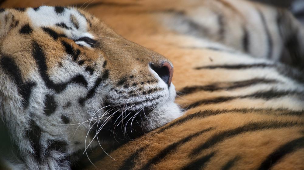 comment avoir un tigre chez soi