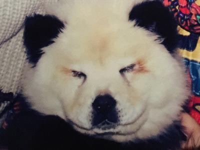 En Italie, un cirque maquillait des chiens pour les faire passer pour des pandas 5326473