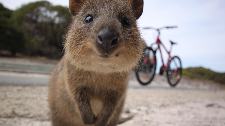le quokka l 39 animal roi du selfie en australie. Black Bedroom Furniture Sets. Home Design Ideas