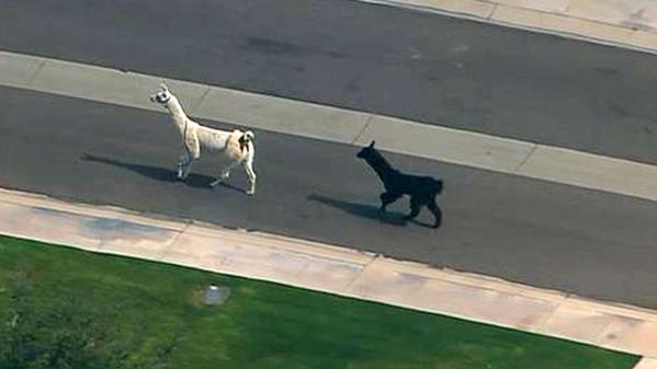 video-etats-unis-deux-lamas-se-font-la-malle-dans-les-rues-de-phoenix