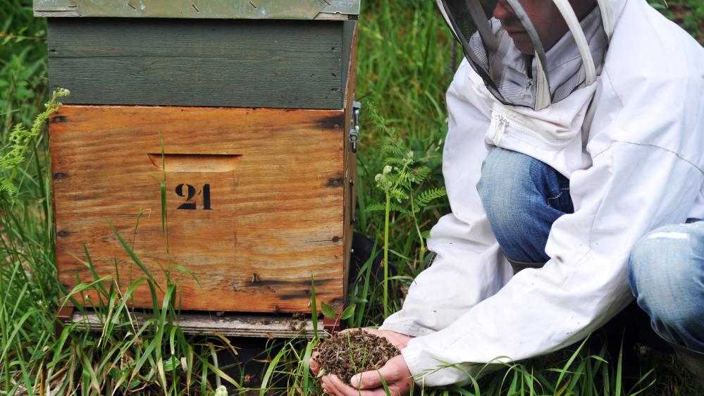 Julien Orain, apiculteur, rassemble des abeilles retrouvées mortes près des ruches de son exploitation, le 9 juin 2009, à Campbon (Loire-Atlantique).