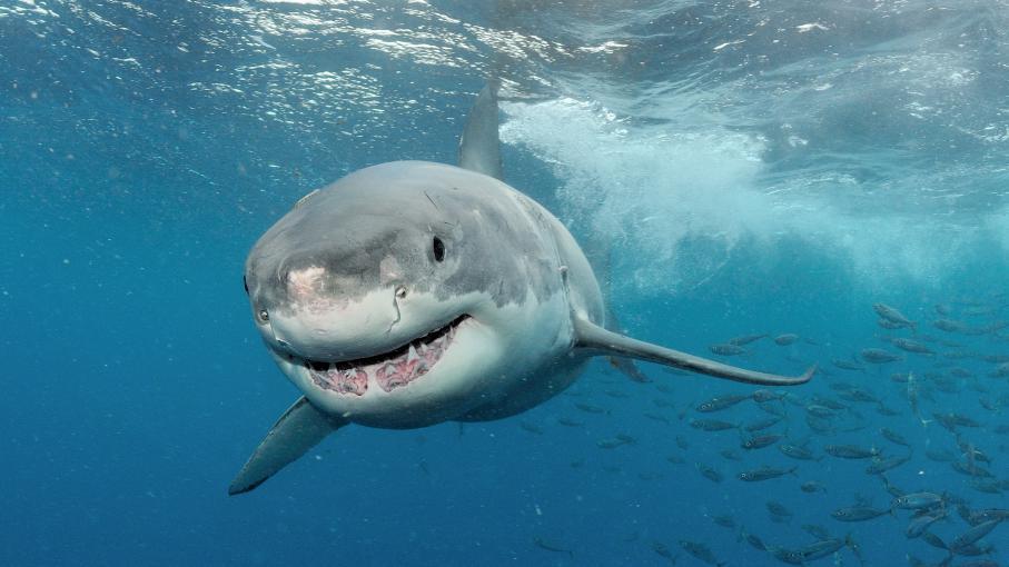 d guis en requin il court sur le littoral pour sensibiliser au sort du squale. Black Bedroom Furniture Sets. Home Design Ideas