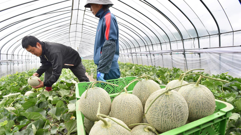 agriculture la saison du melon commence tardivement. Black Bedroom Furniture Sets. Home Design Ideas