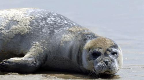 alerte aux phoques sur les plages de gironde