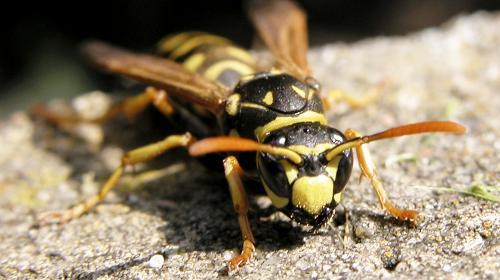 Insectes : pourquoi une telle invasion de guêpes et de frelons cette année ?
