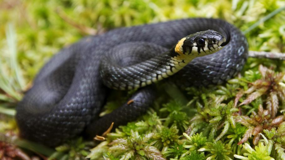 un fossile de serpent quatre pattes remet en cause les th ories sur l 39 origine de ces reptiles. Black Bedroom Furniture Sets. Home Design Ideas
