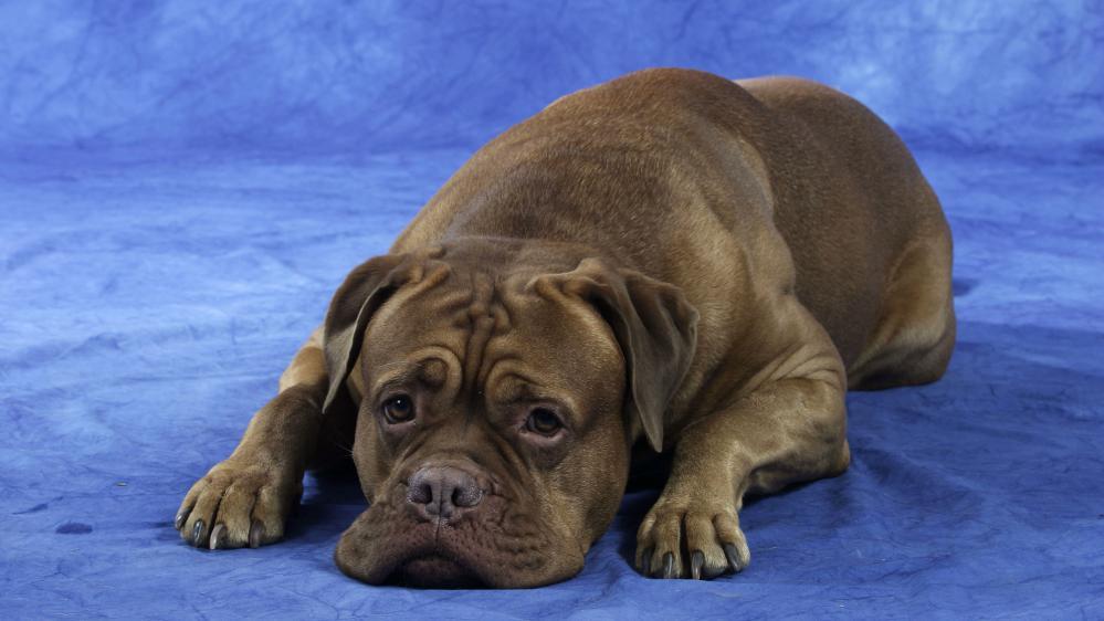 Interpellé samedi 1er août, le propriétaire du dogue de Bordeaux enterré vivant nie les faits, et affirme que son chien s'est enfui.