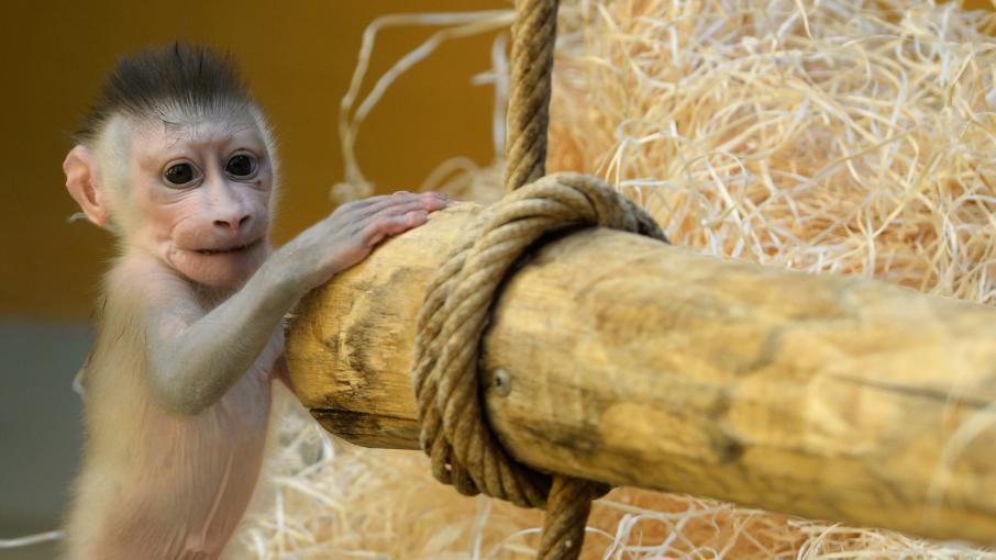 mac doine ils volent un b b singe au zoo pour faire plaisir leur fille. Black Bedroom Furniture Sets. Home Design Ideas