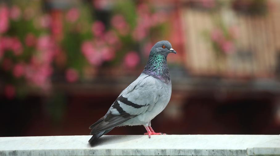Verdun vaillant le pigeon de combat - Pigeon de combat ...