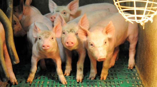 Viande de porc : des éleveurs bretons poursuivent l'Allemagne devant la Commission européenne