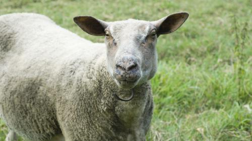 J'innove : des moutons dans ma ville