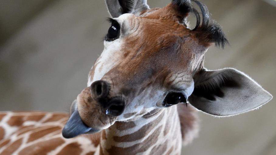 Avez vous d j entendu le cri d 39 une girafe for Prix d une girafe a poncer