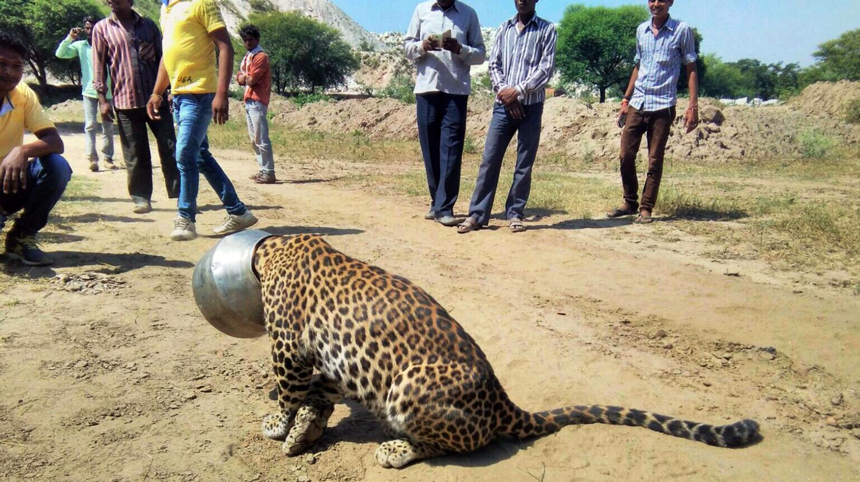 VIDEO. En Inde, un léopard assoiffé se coince la tête dans ...