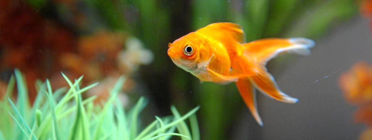Le poisson rouge tait un pompier pyromane for Bocal de poisson rouge