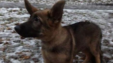 Après la mort d'un chien d'assaut du Raid lors de l'assaut mené à Saint-Denis, la Russie a décidé d'offrir un chien à la France.