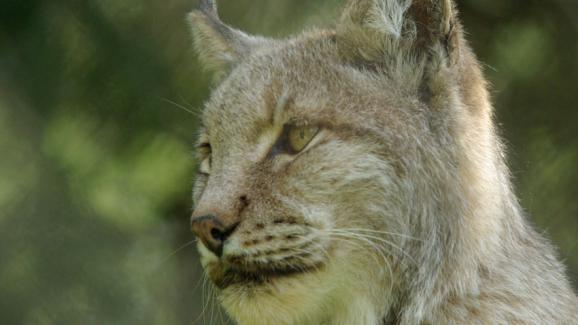 Le lynx boréal est également un animal protégé.