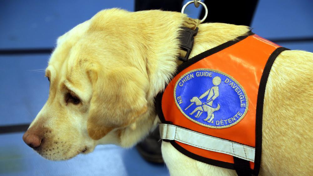 Un chien guide d'aveugle à Thionville (Moselle), le 4 décembre 2015.