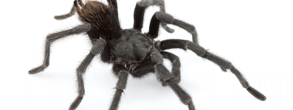 Le chanteur Johnny Cash a une araignée à son nom : l'Aphonopelma ...