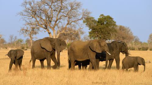 Afrique : l'éléphant est en danger